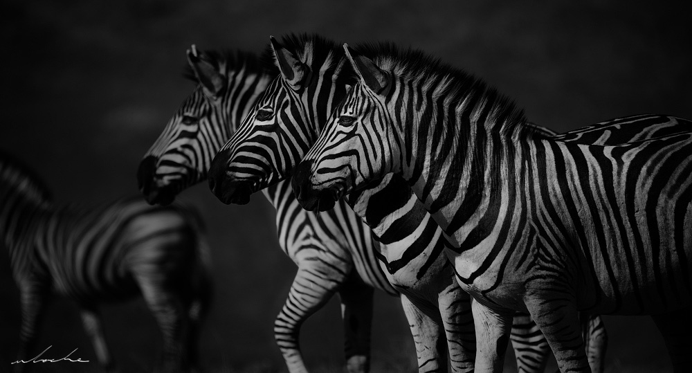 Three Zebras lined up in black and white