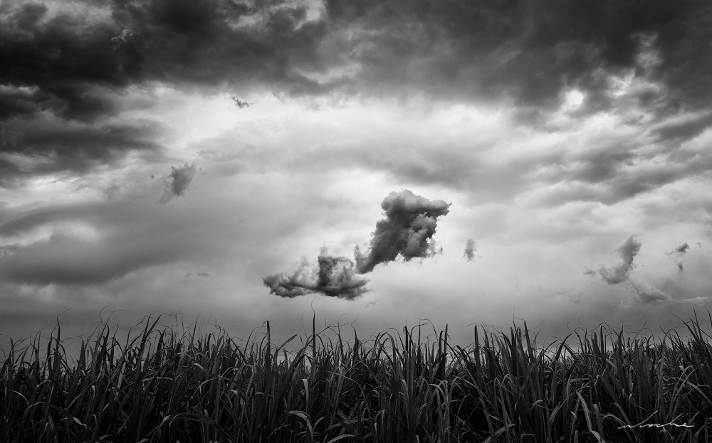 Black and white cloud floating above sugar cane