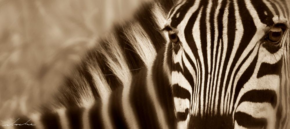 Sepia toned portrait of a zebra