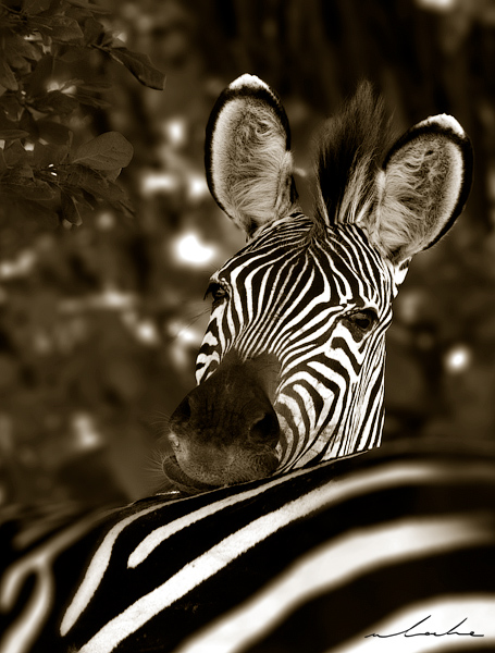 Black and White photograph of a zebra resting his head on another zebras back