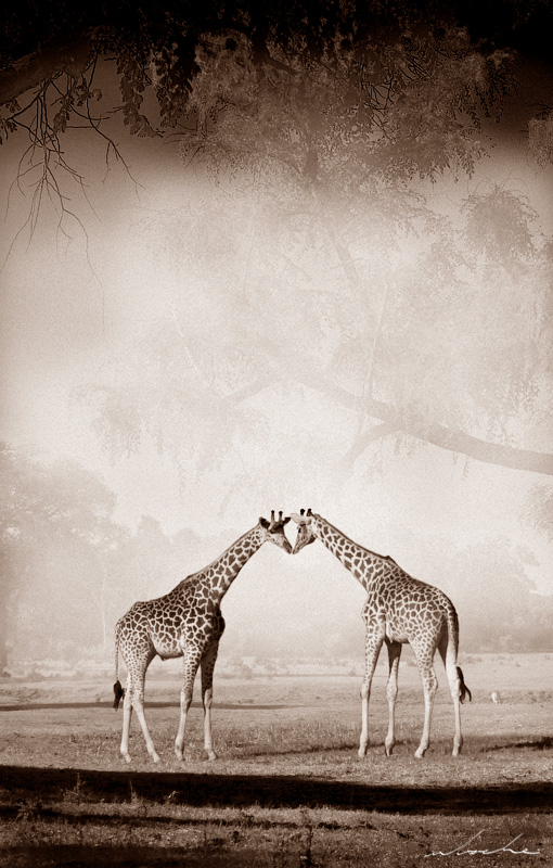 sepia toned photograph of two giraffe nose to nose
