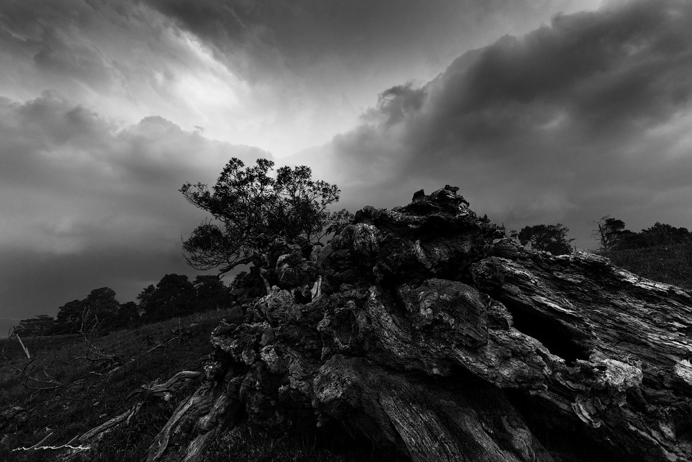Black and white photograph of a decaying tree against a stormy sky