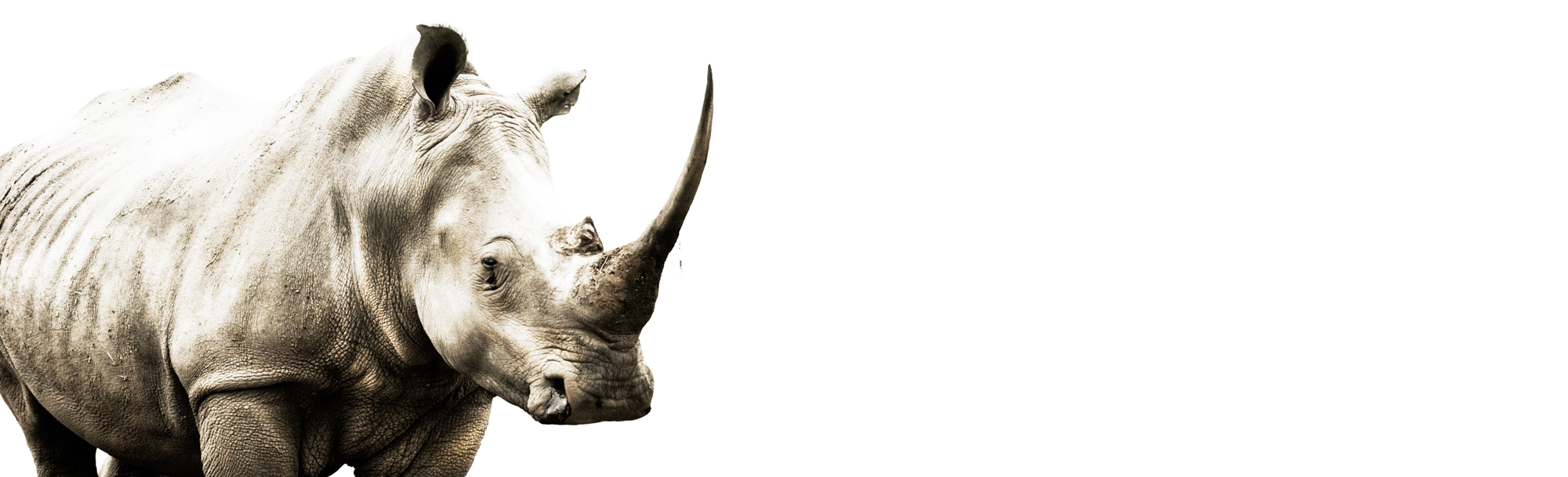 Colour photography of a white rhino against a white background