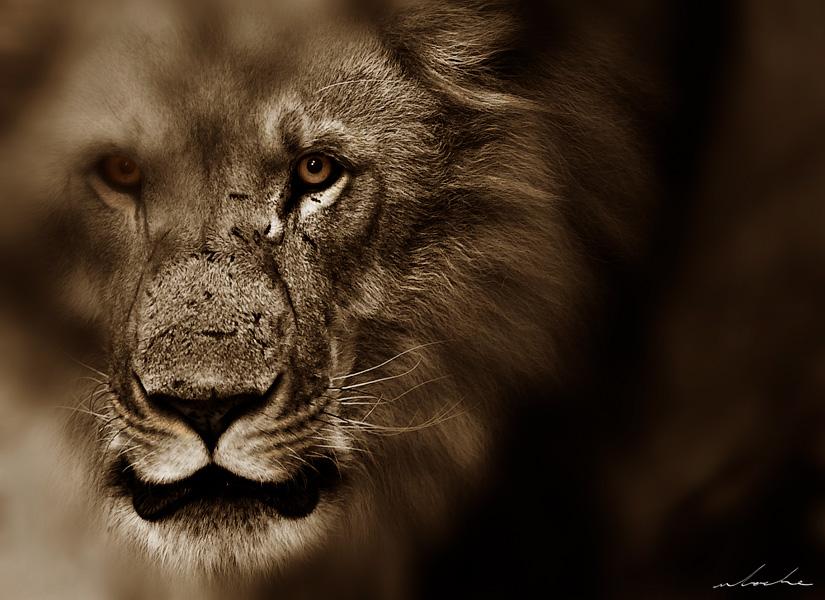 Sepia toned portrait photograph of a male lion