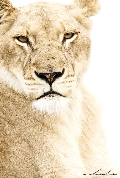 Wildlife colour photograph of a lioness looking at camera