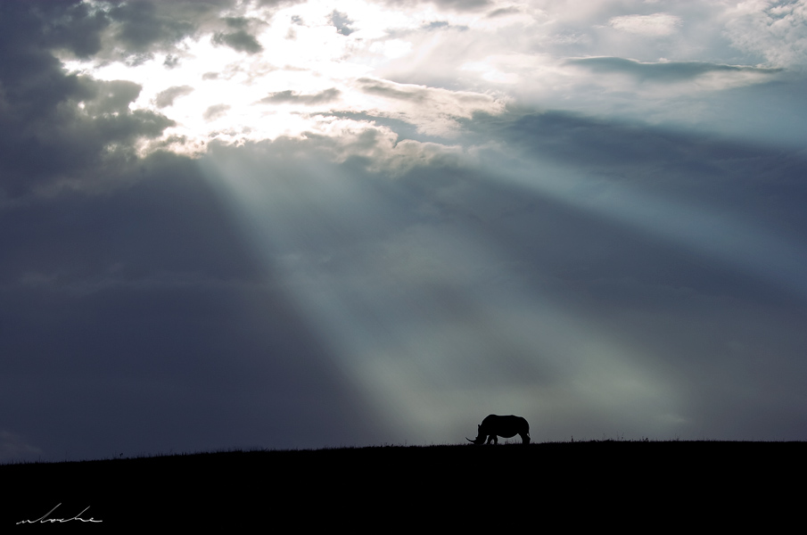 Rhino cow silhouetted by the sun's rays