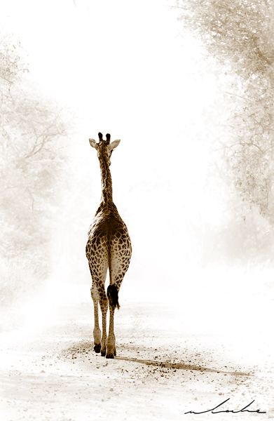 Colour photograph of a giraffe walking away from the camera
