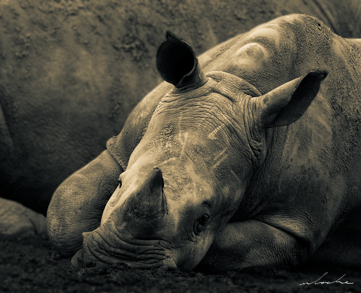 Sepia toned photograph of a Rhino calf sleeping next to it's mother