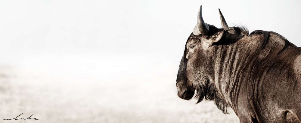 colour photograph of a wildebeest