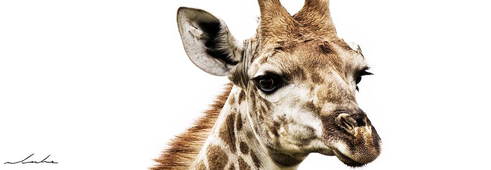 close up photograph of a giraffe face
