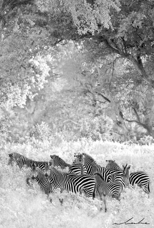 black and white photograph of a herd of zebras in a natural Zambian forest