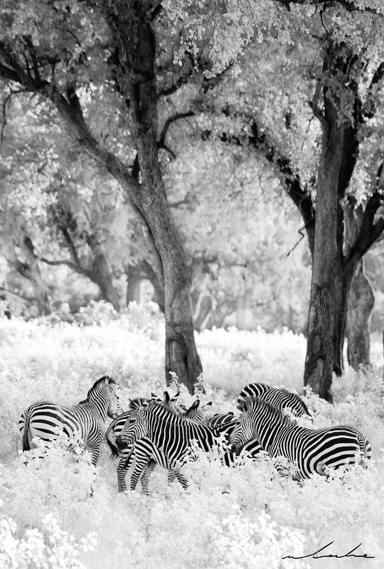 black and white image of a herd of zebras in a natural Zambian forest