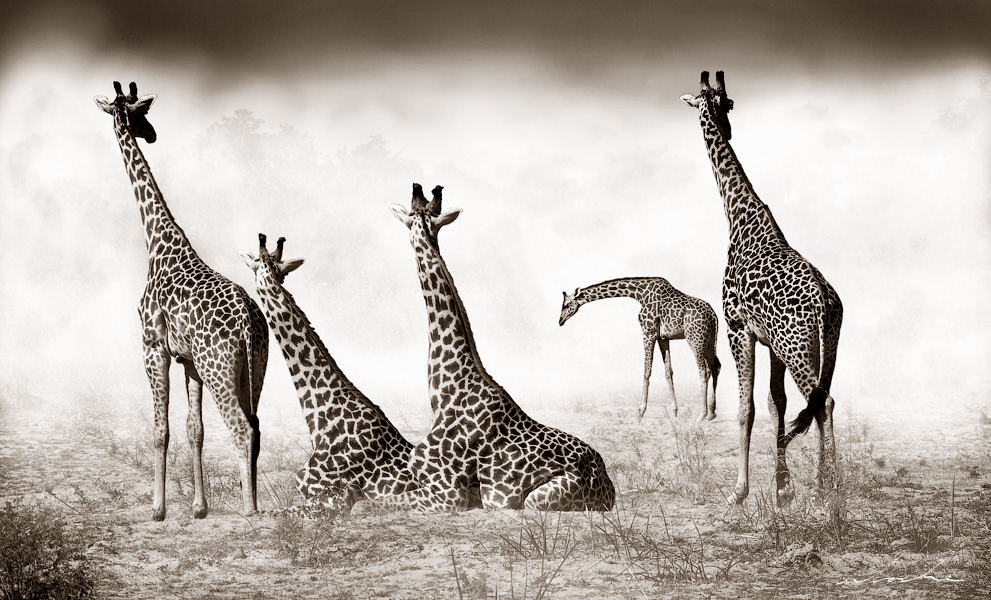 Four giraffes looking at a fifth