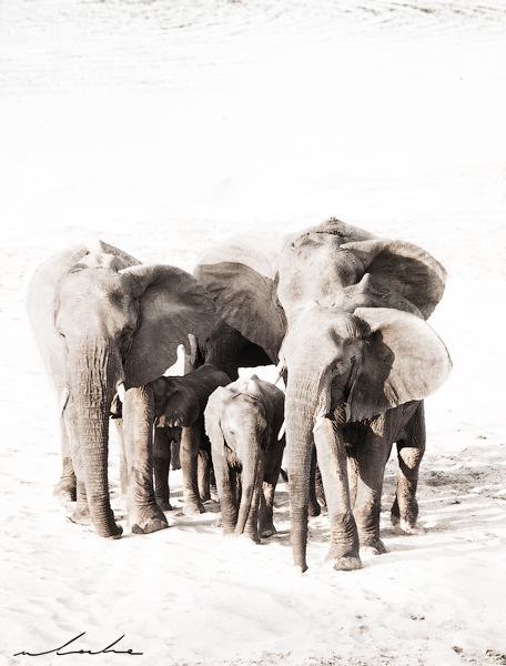 A group of adult elephants flanking a calf
