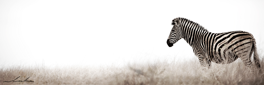 colour photograph of a zebra