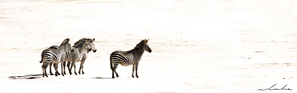 Four zebra on a river bed