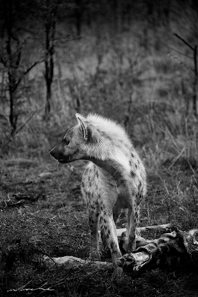 Black and white photograph of a hyena with giraffe bones