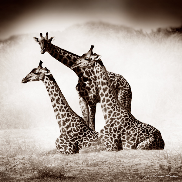 Sepia toned photograph of two giraffe sitting down with a third standing over them