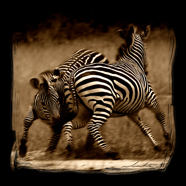 Two fighting zebras circling each other