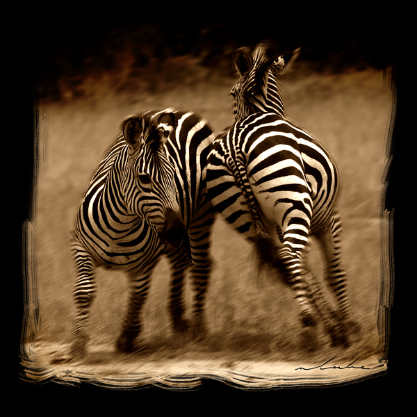 two fighting zebra circling each other