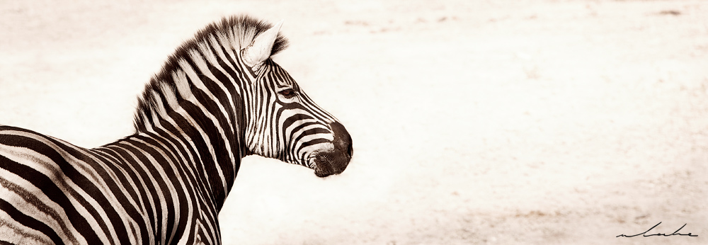colour photograph of a male zebra