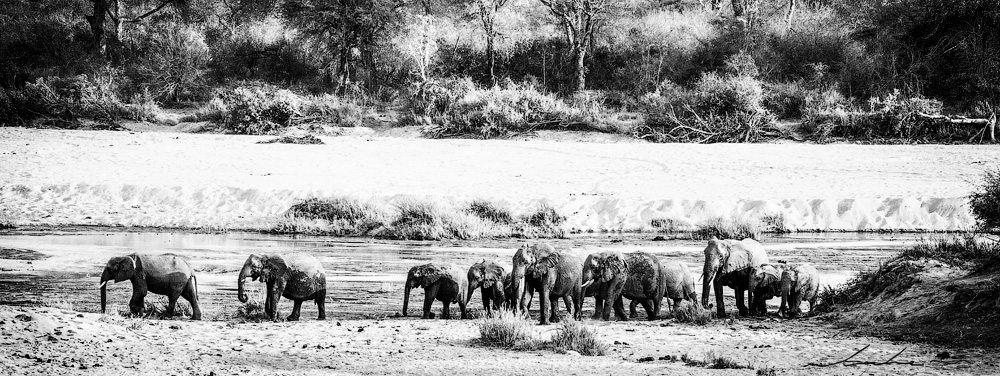 Black and white photograph of herd of elephants crossing a dry river bed