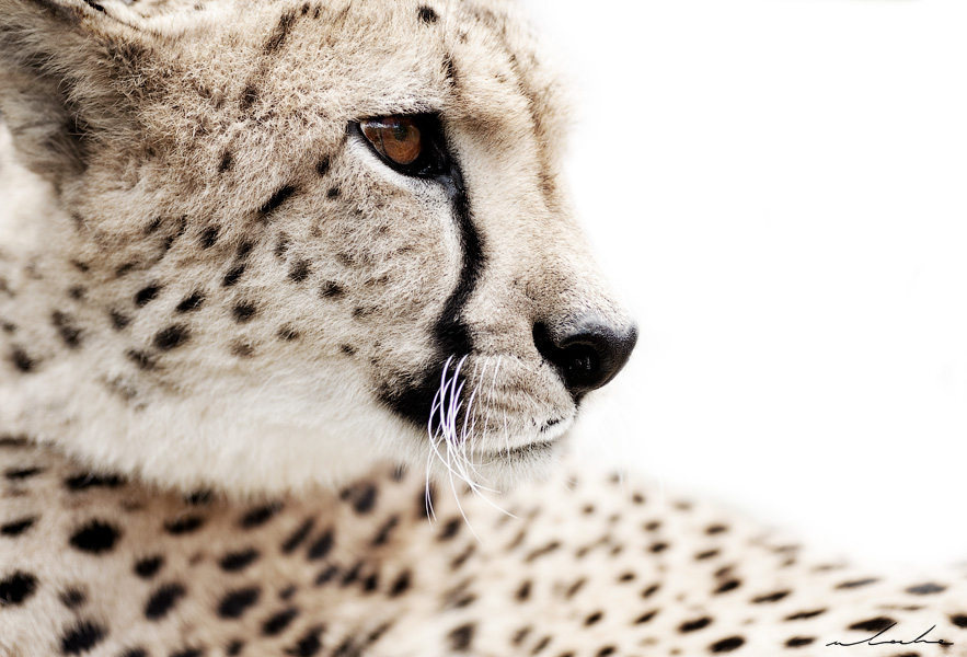 wildlife colour photograph of a cheetah