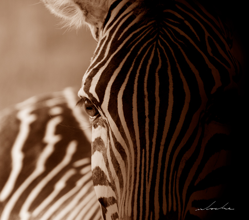 A close cropped photographic portrait of a zebra