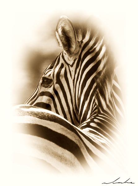 sepia toned photograph of a zebra looking left