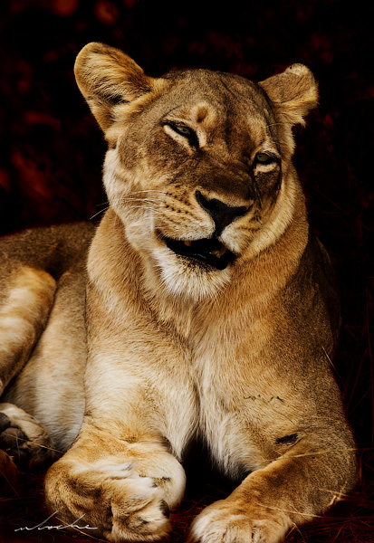 Beautiful lioness sitting by the roadside