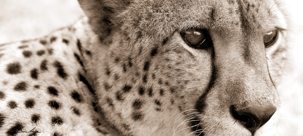 A close up wildlife photograph of a cheetah