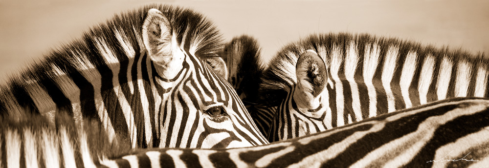 a close cropped sepia toned photograph of a group zebra