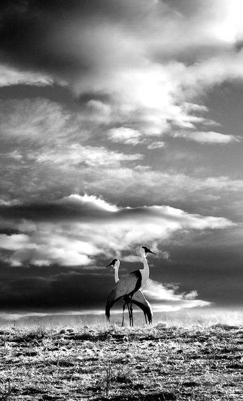 Two wattle cranes photographed against an evening sky