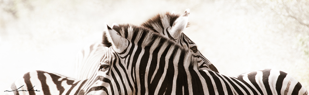colour photograph of two zebra's crossing paths
