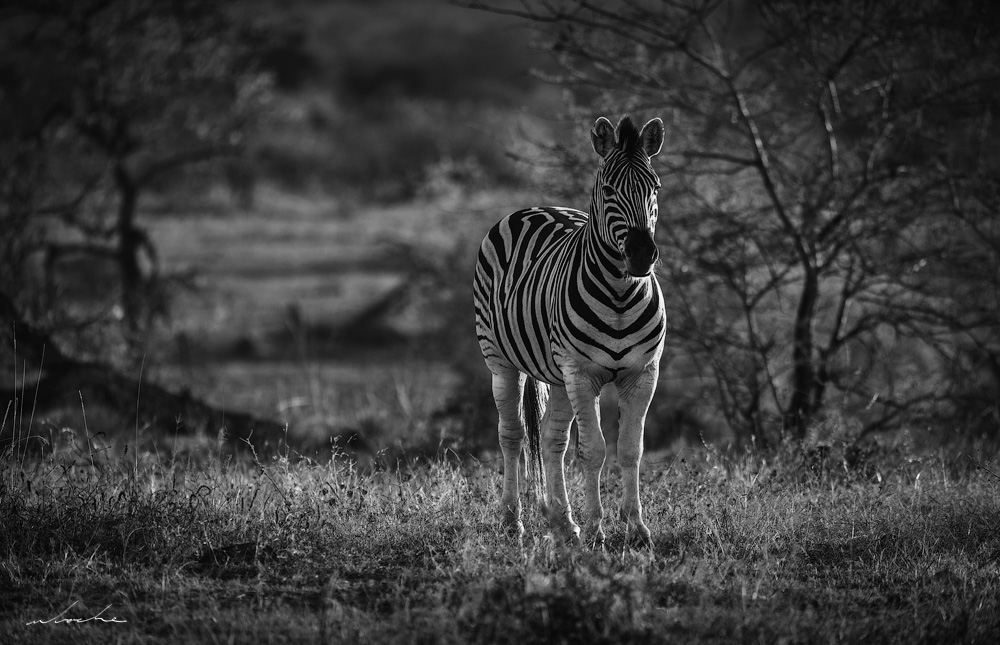 Black and White Photograph of a Zebra side lit at dusk