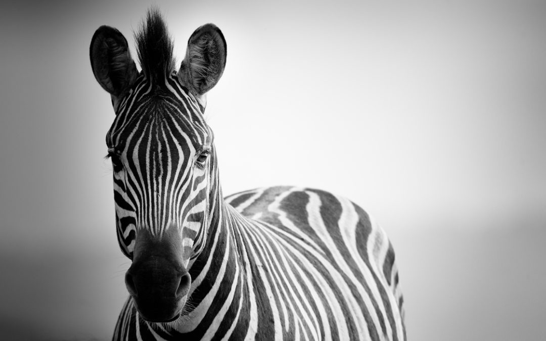 A black and white photograph of a Zebra looking straight into the lens