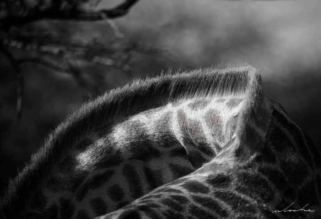 Black and white photograph highlighting the curve of the neck of a giraffe.
